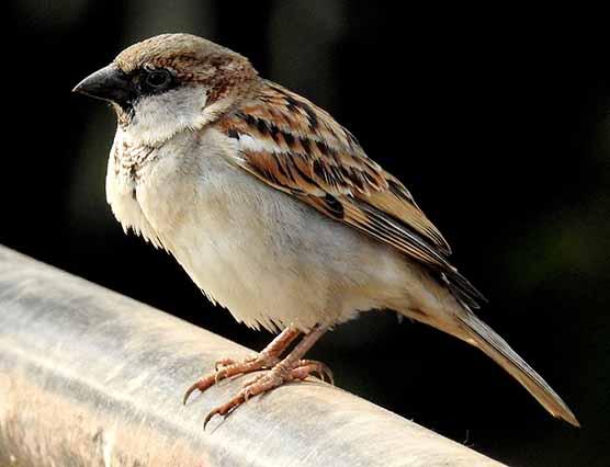 דרור הבית בתחנה לחקר ציפורים בירושלים